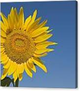 Sunflower, Helianthus Annuus Canvas Print