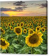 Sunflower Images - A Field Of Golden Texas Wildflowers Canvas Print