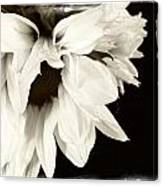 Sunflower In Black And White 2 Canvas Print