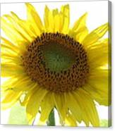 Sunflower In Light Canvas Print