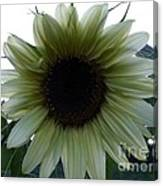 Sunflower In Light Canvas Print