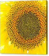 Sunflower In The Summer Sun Canvas Print