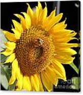 Sunflower-jp2437 Canvas Print