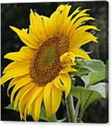 Sunflower Looking To The Sky Canvas Print