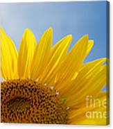 Sunflower Looking Up Canvas Print