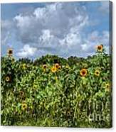 Sunflower Maze Canvas Print