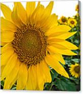 Fibonacci In Full Bloom Canvas Print