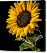 Sunflower Number 2 Canvas Print
