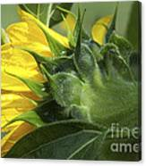 Sunflower Opening Canvas Print