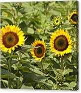 Sunflower Patch Canvas Print