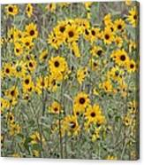 Sunflower Patch On The Hill Canvas Print