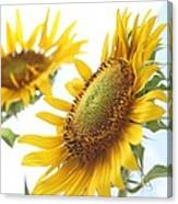 Sunflower Perspective Canvas Print