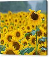 Sunflower Rain Sussex Nj Canvas Print