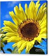Sunflower Reaching For The Sun Canvas Print