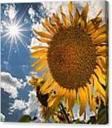 Sunflower Study 2 Canvas Print