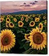 Sunflower Sunset II Canvas Print