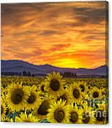 Sunflower Sunset Canvas Print