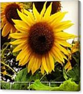 Sunflower Sunshine Canvas Print