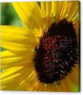Sunflower Two Canvas Print