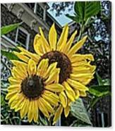 Sunflower Under The Gables Canvas Print
