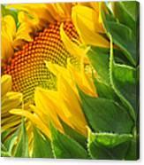 Sunflower Unfolding  Canvas Print