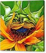 Sunflower Volunteer Half Bloom Canvas Print