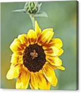 Sunflower With Honey Bee. Canvas Print