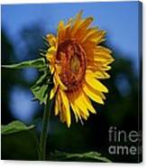 Sunflower With Honeybee Canvas Print