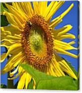 Sunflower With Honeybee Canvas Print
