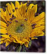 Sunflower With Ladybugs Canvas Print