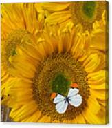 Sunflower With White Butterfly Canvas Print