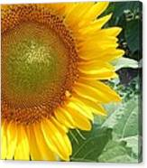 Sunflowers #2 Canvas Print