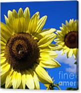 Sunflowers Against A Blue Sky Canvas Print
