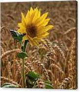 Sunflowers At Corny Canvas Print