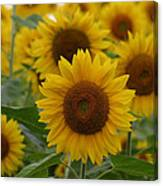 Sunflowers At The Farm Canvas Print