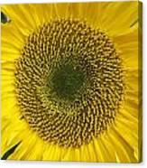 Sunflower's Cluster Canvas Print
