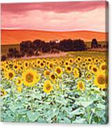 Sunflowers, Corbada, Spain Canvas Print