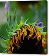 Sunflower's End Canvas Print