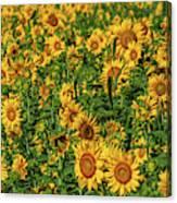 Sunflowers Helianthus Annuus Growing Canvas Print