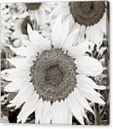Sunflowers In Back And White Canvas Print