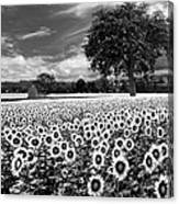 Sunflowers In Black And White Canvas Print