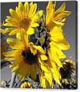 Yellow Selected Sunflowers Canvas Print