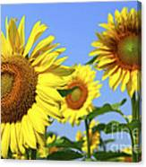 Sunflowers In Field Canvas Print