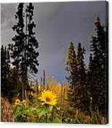 Sunflowers In Northern Garden In Fall Canvas Print