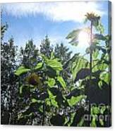 Sunflowers In Sunshine Canvas Print