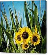 Sunflowers In The Corn Field Canvas Print