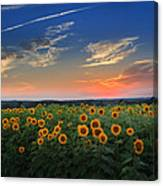 Sunflowers In The Evening Canvas Print