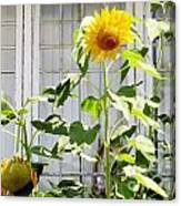 Sunflowers In The Window Canvas Print