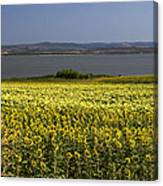 Sunflowers Near The Sea Canvas Print