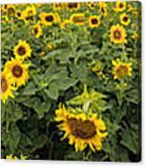 Sunflowers Panorama Canvas Print
